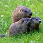 woodchuck babies